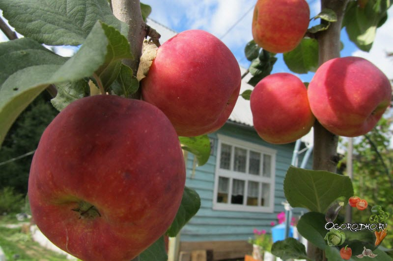 зрелость яблок для хранения