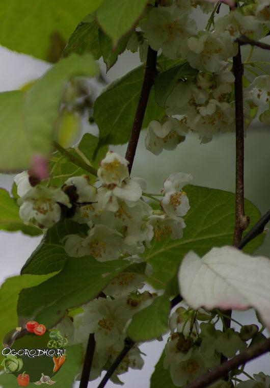 Актинидия коломикта - цветки мужские