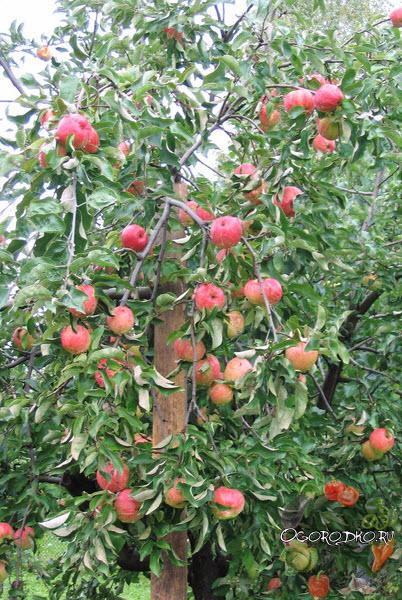 супер урожай яблони