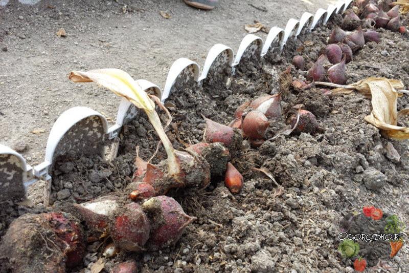 как выкапывать луковицы тюльпанов