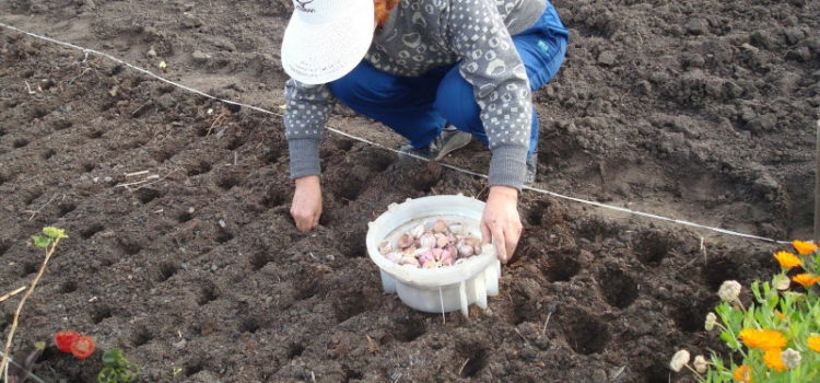 Когда сажать чеснок под зиму – сроки и особенности посадки