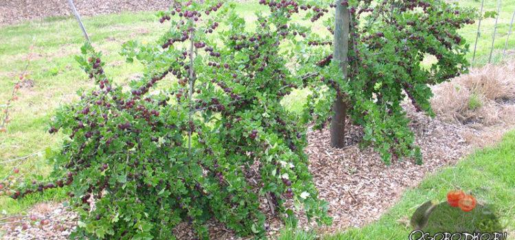 Обрезка крыжовника осенью – залог долголетнего урожая