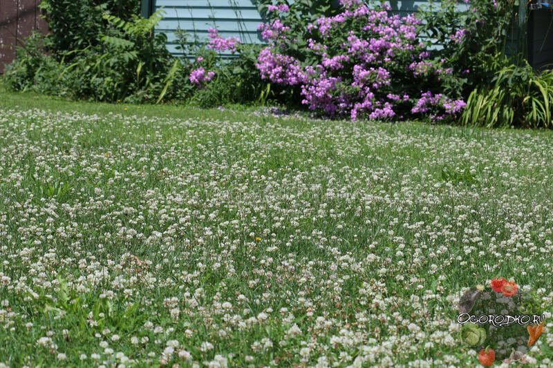 газон из белого клевера
