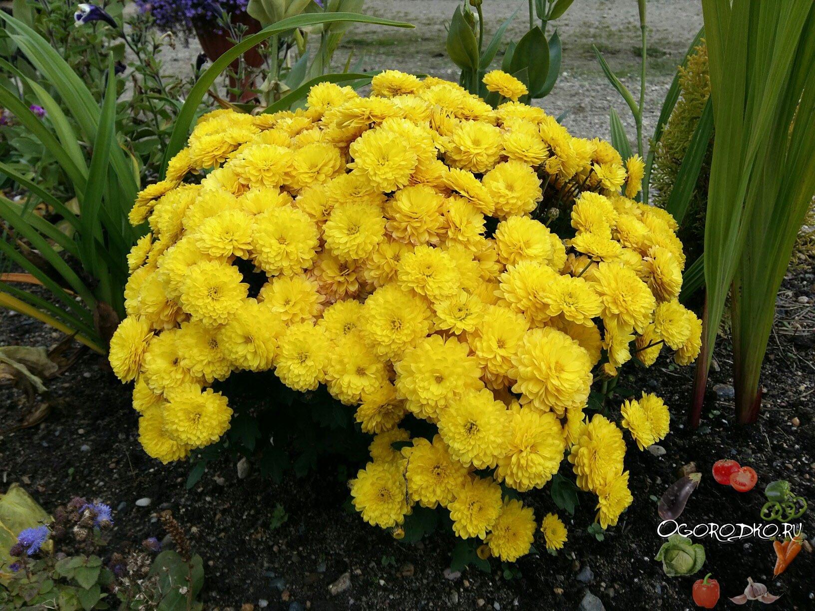 красивая хризантема