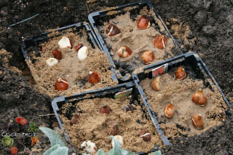 Когда сажать луковицы тюльпанов осень