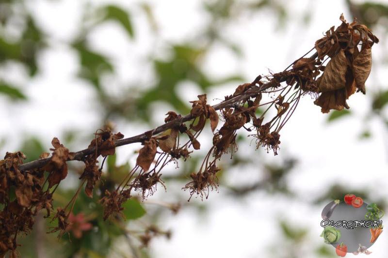 Креветка вишня с икрой фото