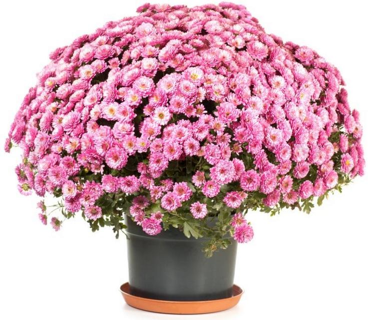 Хризантемы мультифлора