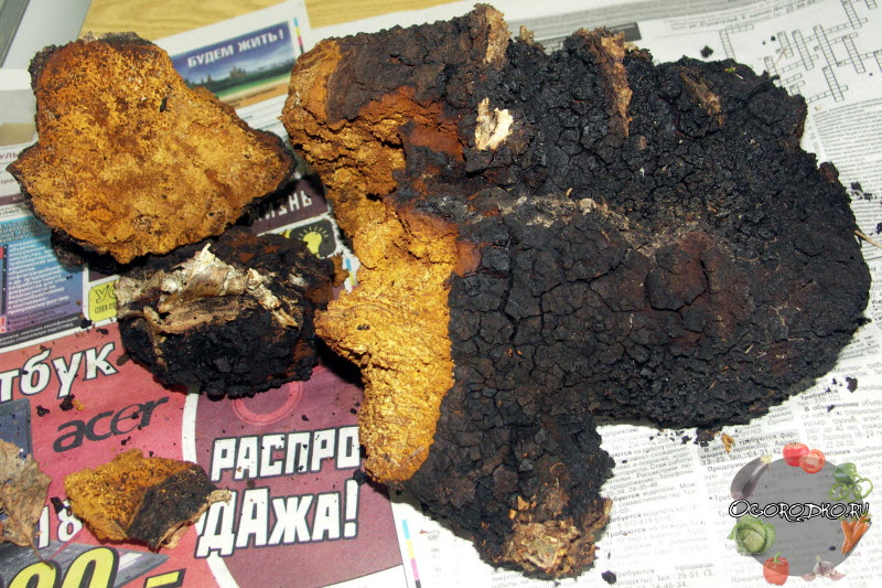 приготовление гриба Чага