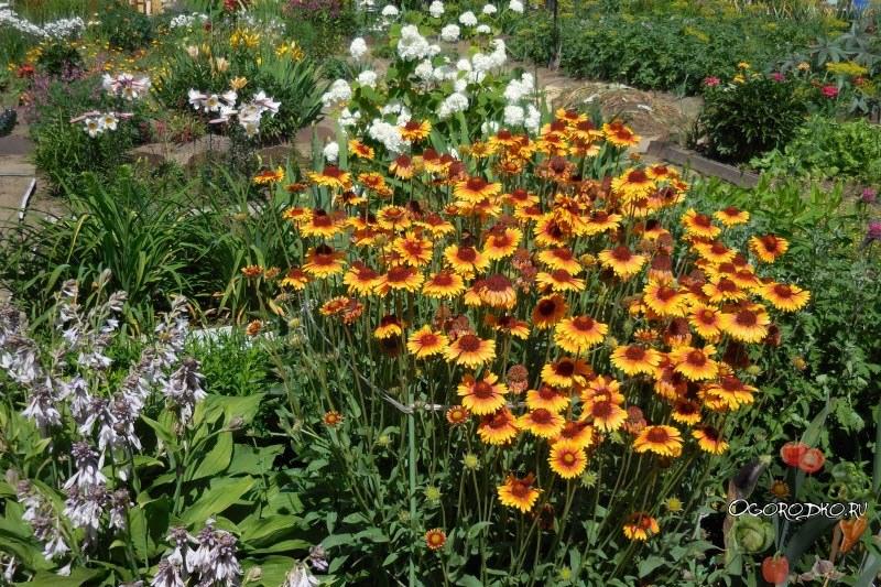 Гайллардия в саду