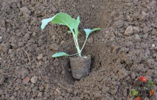 Капуста, посадка и уход в открытом грунте – используем семена или рассаду