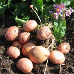 Картофель Жуковский ранний - фото, отзывы