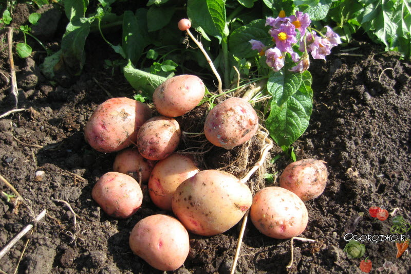 Агроном: Отличия и описание сорта картофеля Жуковский в 2019 году