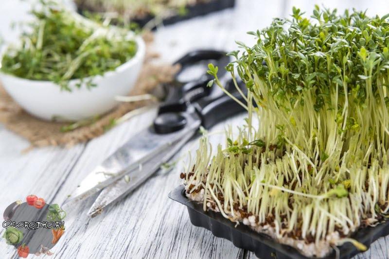 Кресс-салат, польза и вред