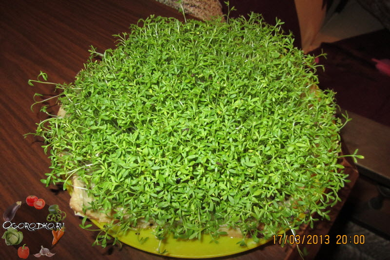 Кресс-салат, выращивание на подоконнике