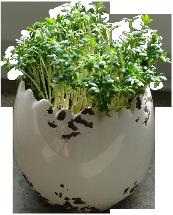 Кресс-салат фото