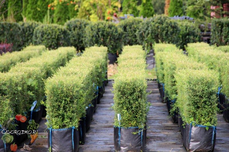 забор живая изгородь быстрорастущая многолетняя