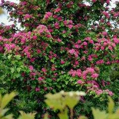 Кустарники, цветущие все лето - фото, отзывы