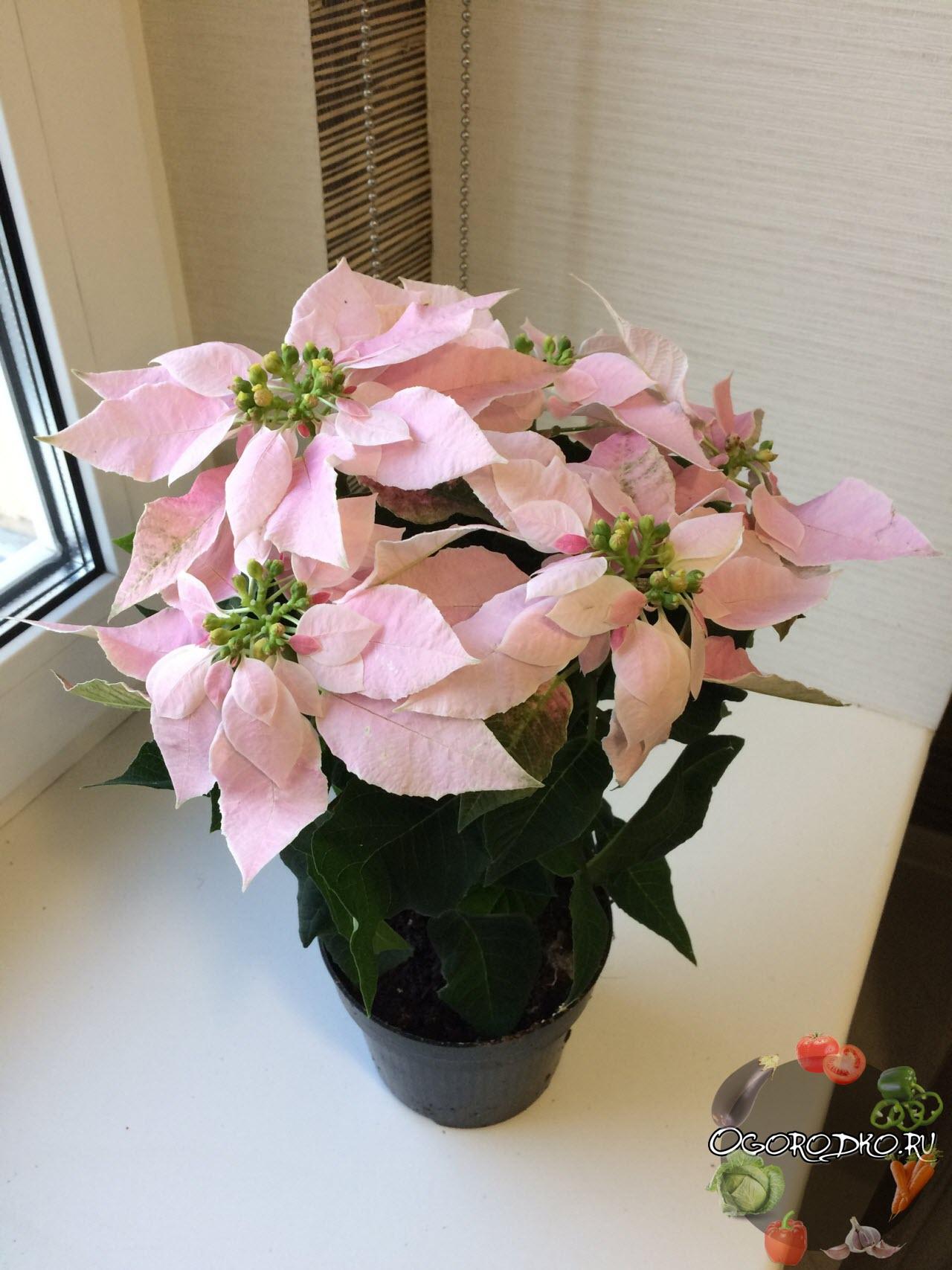 Пуансеттия цветет - фото