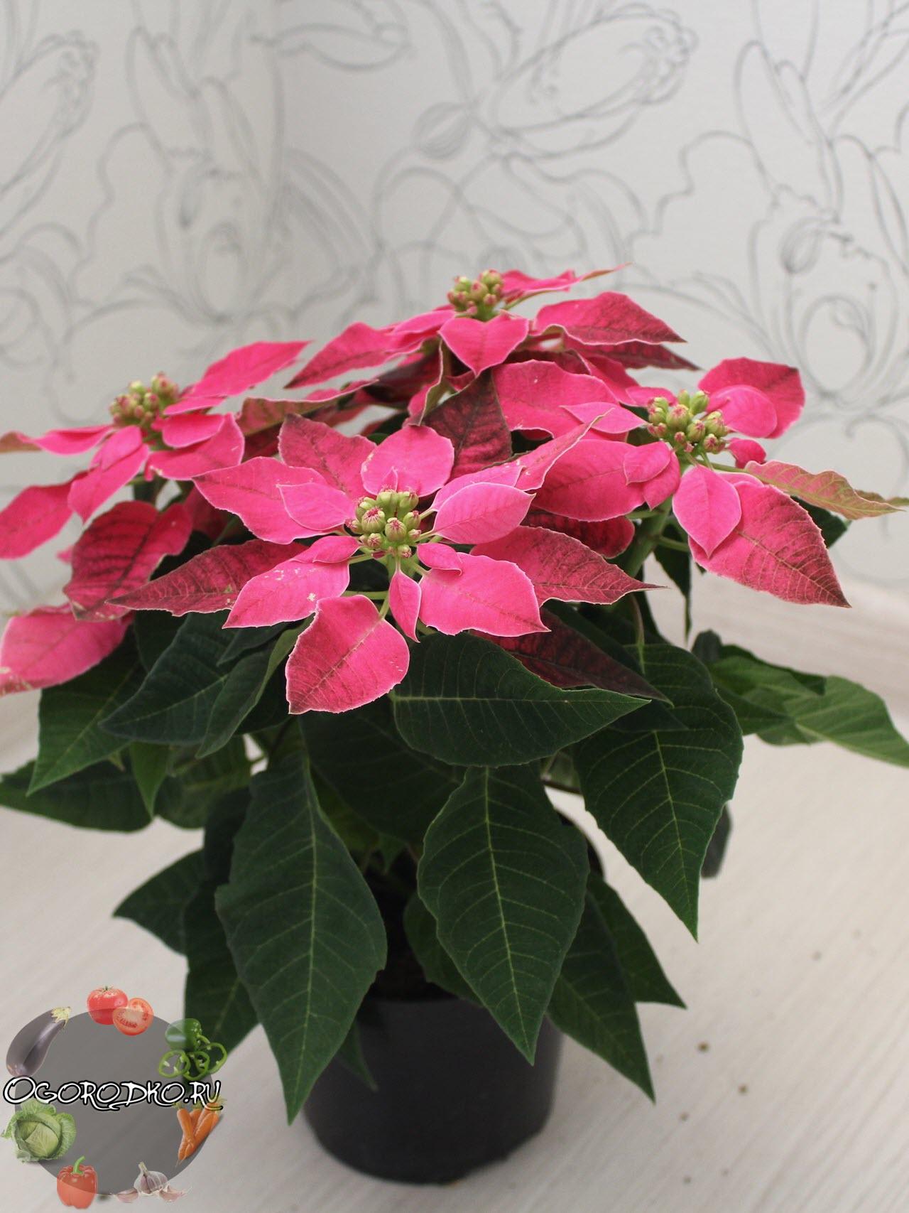 Пуансеттия цветок - фото