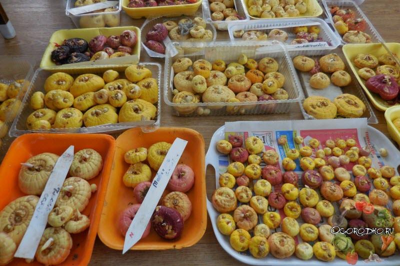 луковицы гладиолусов - фото, подготовка, посадка