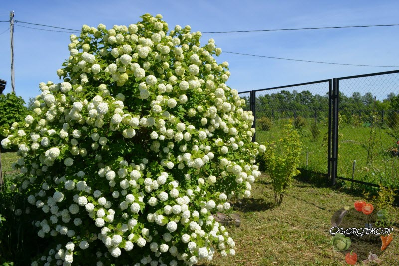 на фото цветение калины Бульденеж