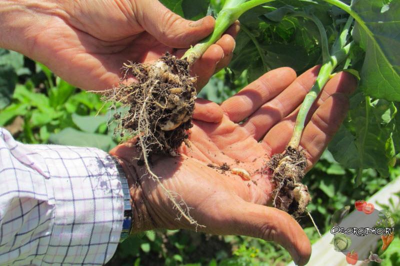Кила капусты – меры борьбы с болезнью, препараты, народные средства   фото