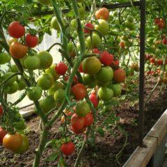 Подкормка помидоров в теплице