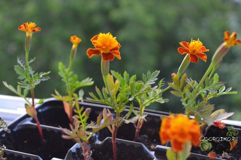 цветы бархатцы посадка и уход фото когда сеять семена