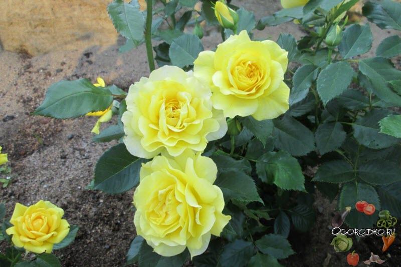 Роза Флорибунда Фрезия (Rose Fresia)