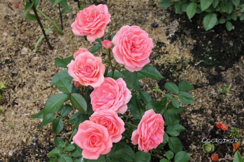 Роза Флорибунда Кимоно (Rose Kimono)
