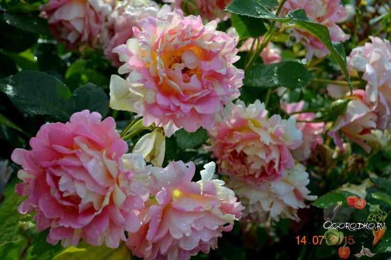 Роза Флорибунда Роз де Цистерсьен