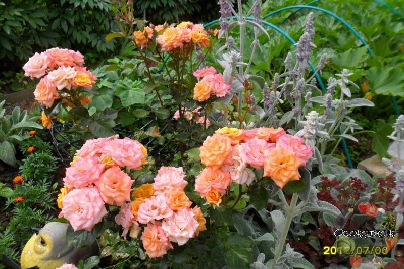 Роза Флорибунда маскарад
