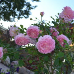 Розы Остина, фото, сорта
