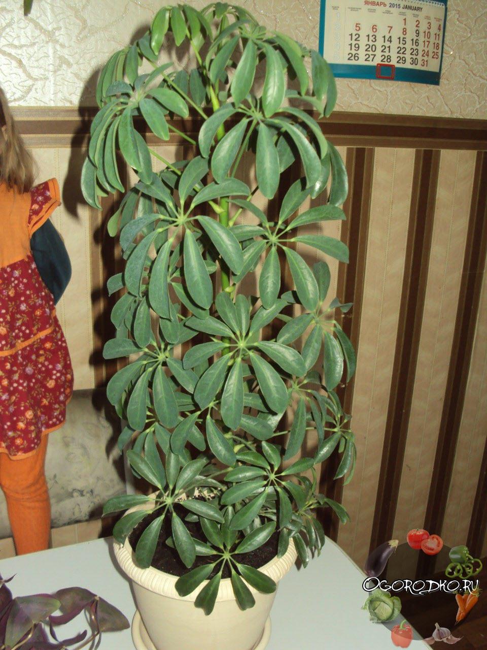 Шеффлера - цветок, фото в домашних условиях