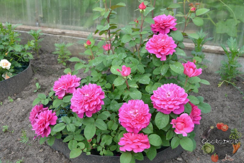 роза Софи Роуз