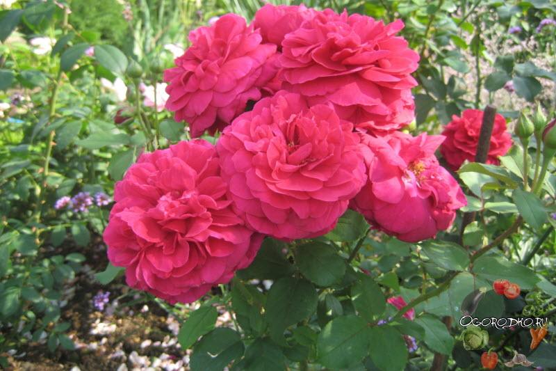 роза Tess Of The d'Urbervilles