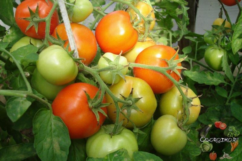 высококласную медицинскую томат санька отзывы фото получил благодаря