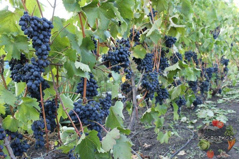 Виноград Кодрянка фото урожая