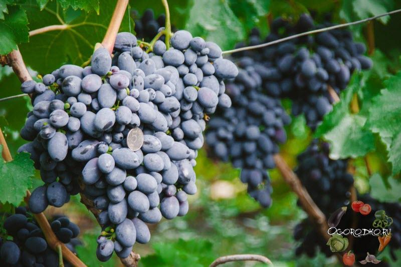 Виноград Кодрянка, отзывы, фото, рекомендации по уходу