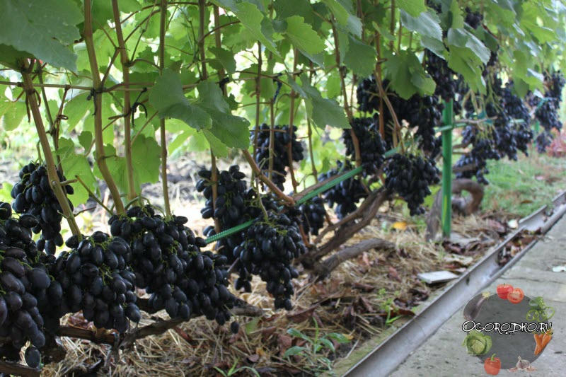 на фото виноград сорта Кодрянка