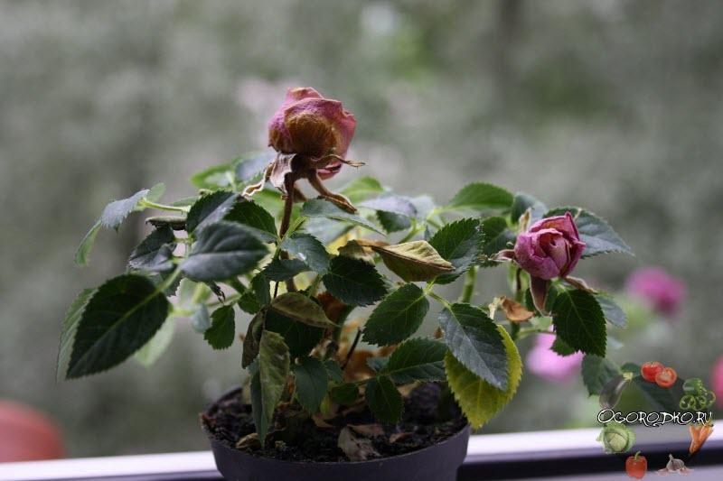 болезни комнатной розы