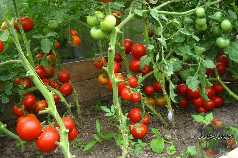 формирование кустов помидор в теплице