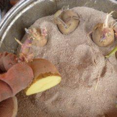 как прорастить картофель перед посадкой