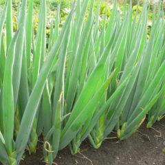 лук-батун - фото, выращивание и уход