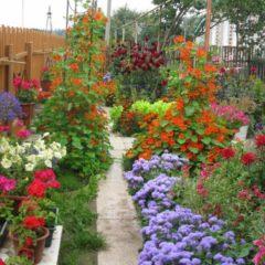 многолетники цветущие все лето неприхотливые