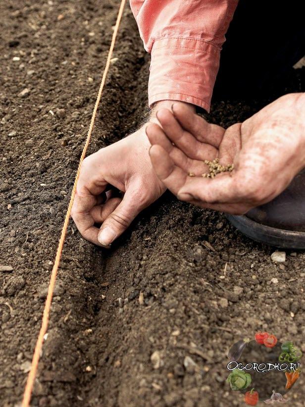 посев семян свеклы в открытый грунт