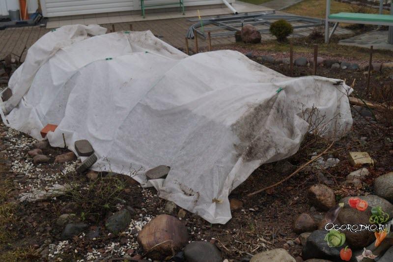 проветривание роз после зимы
