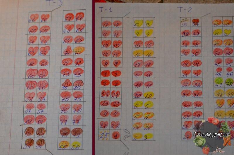 схема посадки помидор в теплице