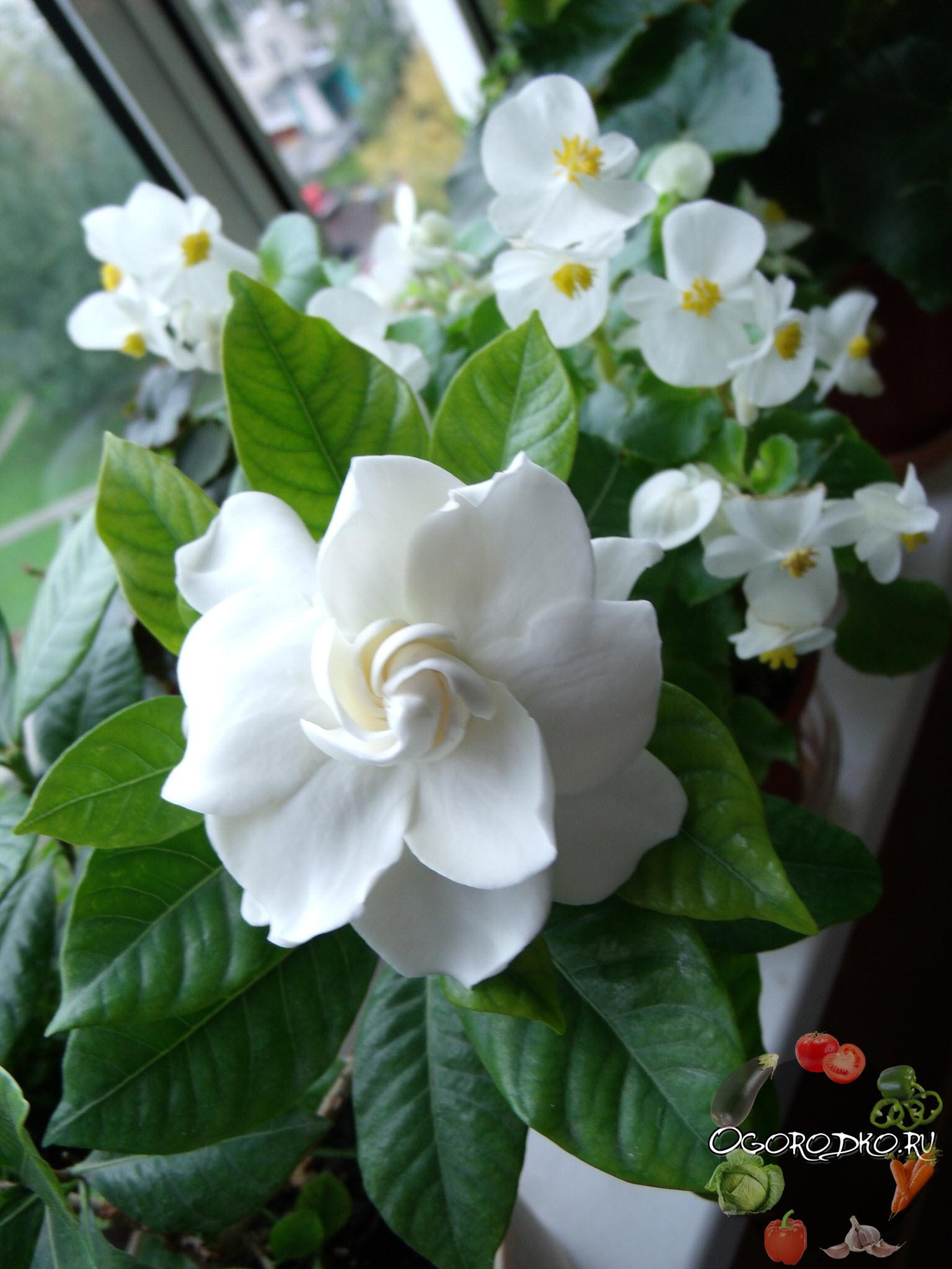 цветение гардении домашней на фото