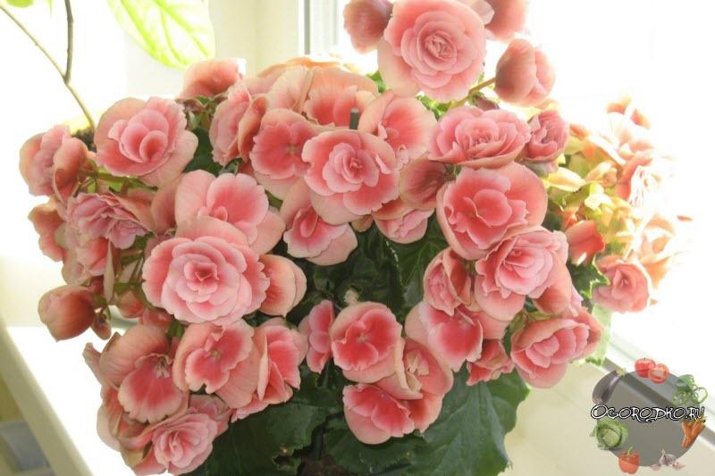 цветок азалия комнатная